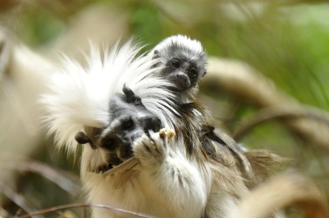 Cotton-topped tamarins zoo basel 1 ab
