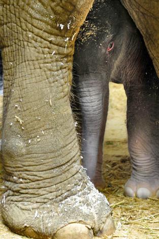Baby olifant 1