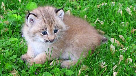 Baby Lynx Kitten at New Zoo 1