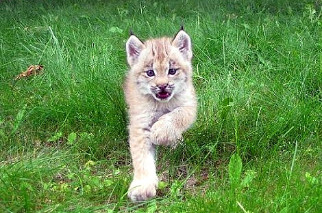 Lynx kitten wisconsin at new zoo 3 rs