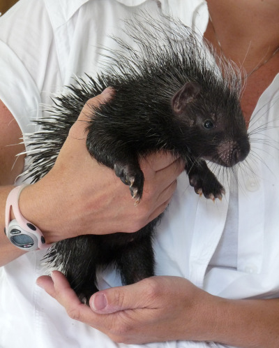 Cape porcupine baby naples zoo 2 rs