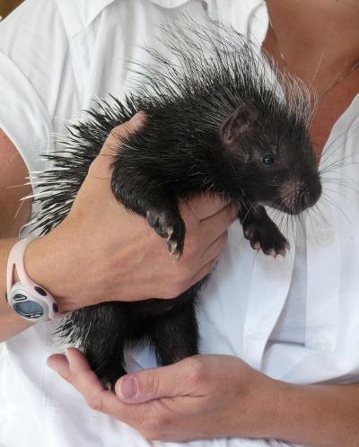 Cape porcupine baby naples zoo 2 rs