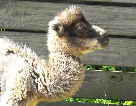 Camel head mesker park zoo 1 ab