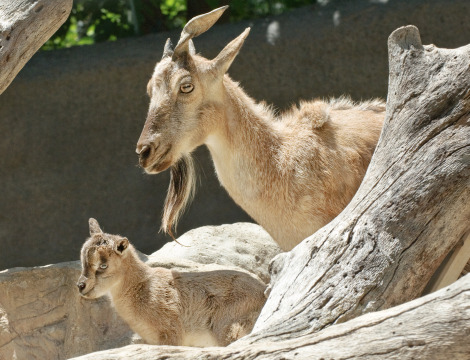 Markhor with babies 3 ab