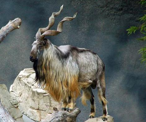Adult male markhor la zoo