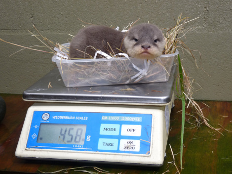 Baby otter weighed auckland zoo new zealand 2 rs