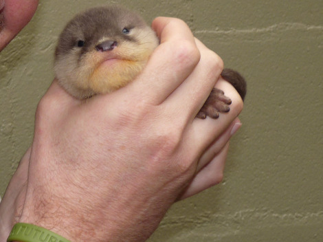 New zealand guy with baby otter rs
