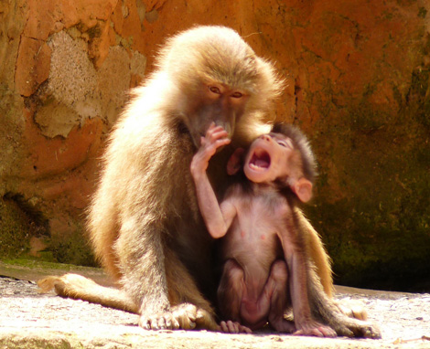 Baby baboon and mother playing paignton zoo 3b