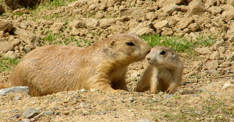 Baby Prairie Dogs ZooAmerica with Mom 3