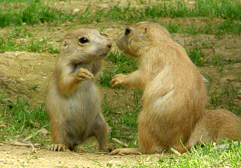 Baby Prairie Dogs ZooAmerica Playing 4