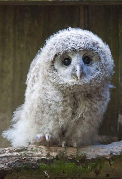 Ural owl chick 1 tallinn zoo
