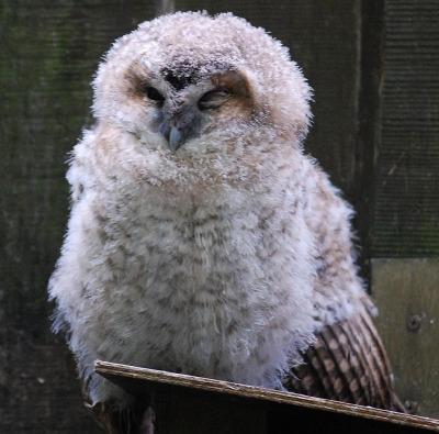 Ural owl chick 2 tallinn zoo