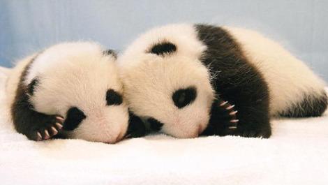 Panda cubs thailand 1