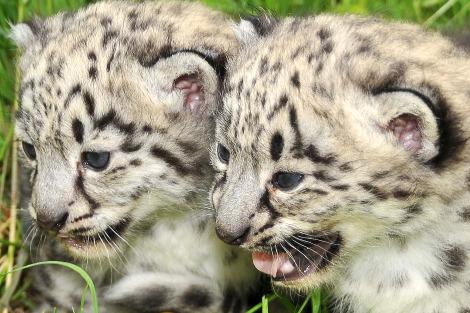 Snow leopard cubs toronto 3 closeup