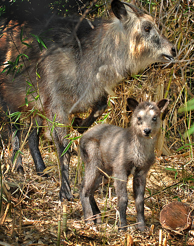 Serow & Baby 7-1-09_Tad Motoyama 2236 rs