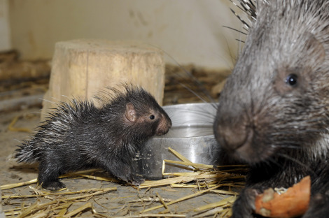 Baby porcupine zoo basel 1 rs