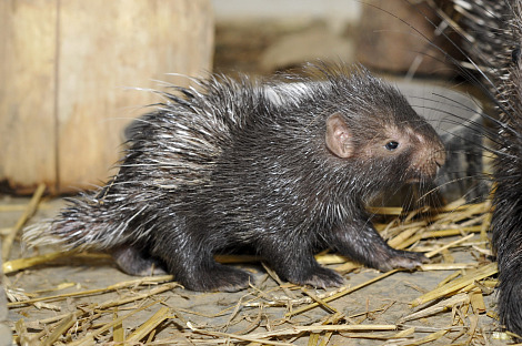 Baby porcupine zoo basel 1b rs