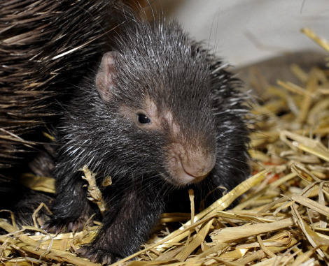Baby porcupine zoo basel 3 rs closeup