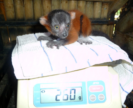 Red ruffed lemur weight