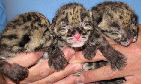 Clouded leopard cubs kittens babies nashville zoo resized