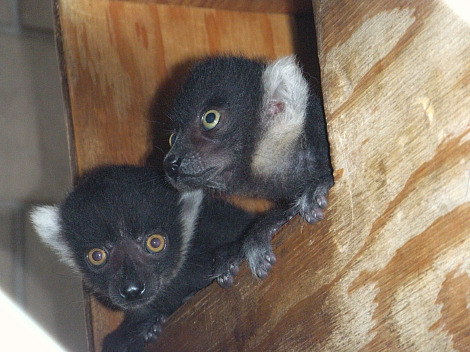 Baby lemur detroit zoo 3 rs