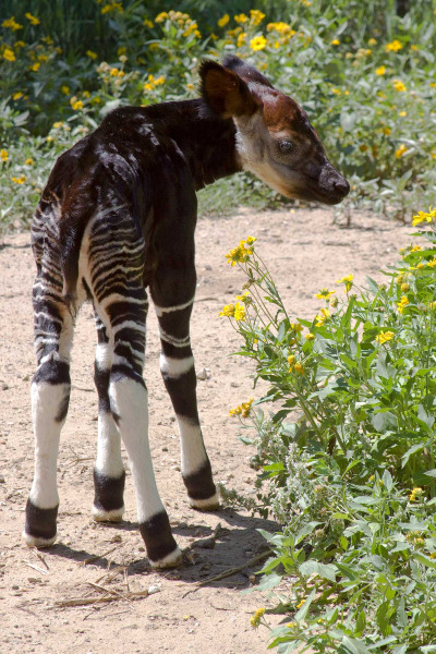 Baby okapi denver zoo 2