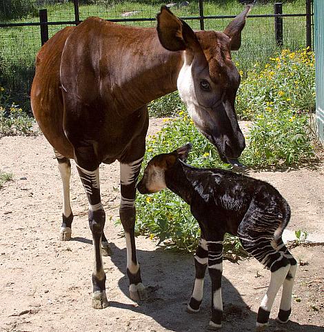 Okapis Giraffes Long Lost Cousin Zooborns