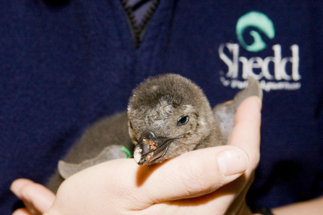 Penguin Chick Shedd Aquarium 1 rs