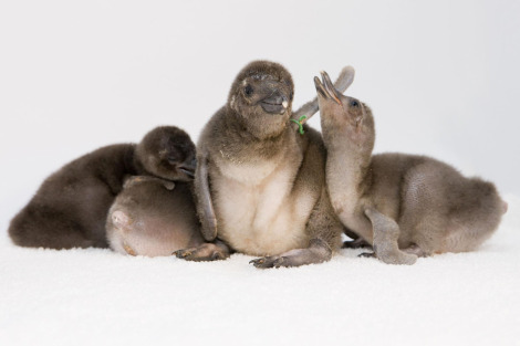 Penguin Chicks Shedd Aquarium Group Photo rs