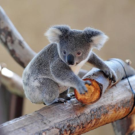 Baby koala sooky san diego 1