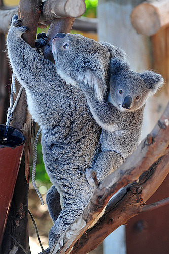 Koala joey sooky and mom kobi san diego 2