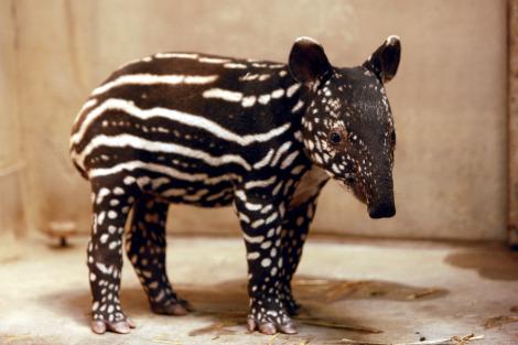 Baby tapir calf dublin zoo 1 rs