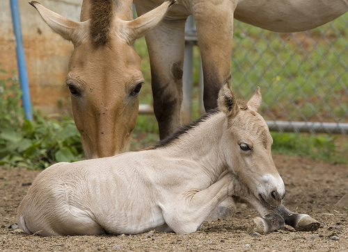 Mare and foal are bonding and doing well. Photo: www.zooborns.com
