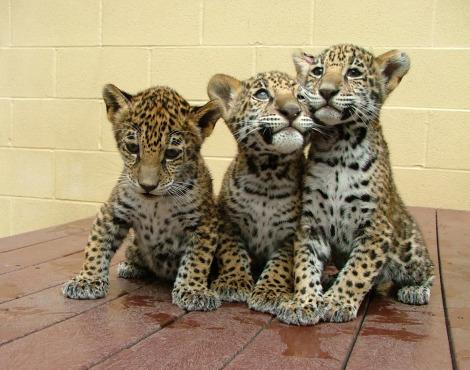 Jaguar cubs akron zoo