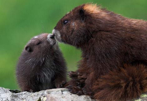 Vancouver island marmot baby and mom