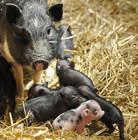 Miniature pigs zoo basel 3 proud mama pig