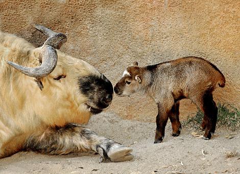 Baby Takin with Dad LA Zoo
