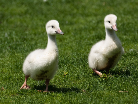 Swan cygnets lincoln park zoo 1