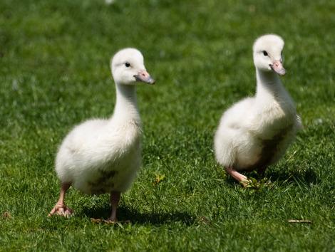 swan zooborns
