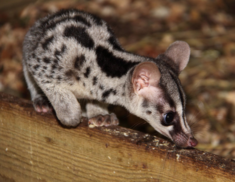 Owstons-Civet-Baby-2-by-Michelle-Turton