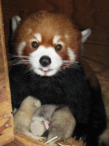 09-Panda-Cubs
