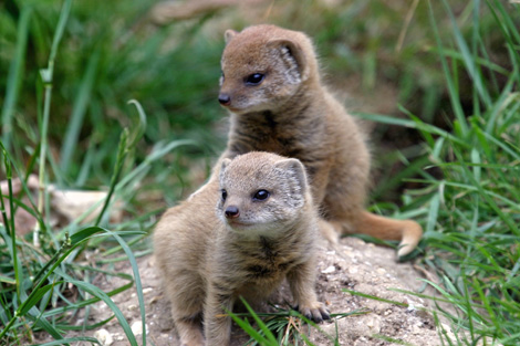 Mongoose-twins