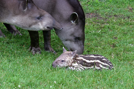 Brazilian-tapir-and-parents