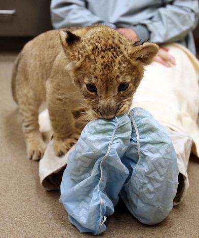 Lion cub chews on toes tulsa zoo
