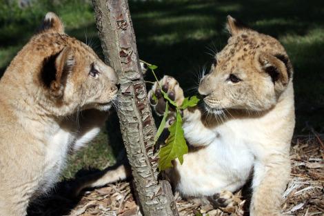 Lion cubs tulsa zoo 3