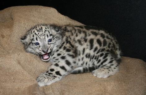 Snow leopard cub hogle zoo
