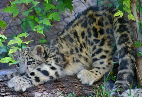 Baby snow leopard hogle zoo 1