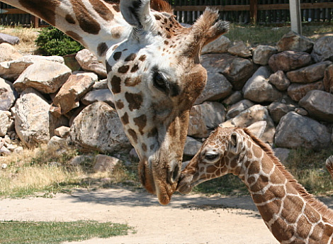 Baby giraffe hogle zoo 1
