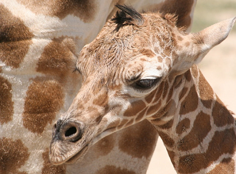 Baby giraffe hogle zoo 3