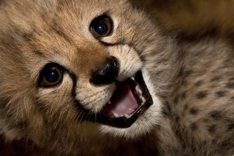 Cheetah cub san diego zoo 1